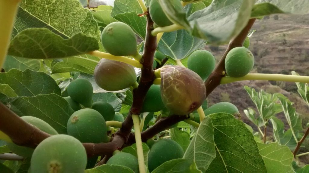 Figs from Jete, Andalucia