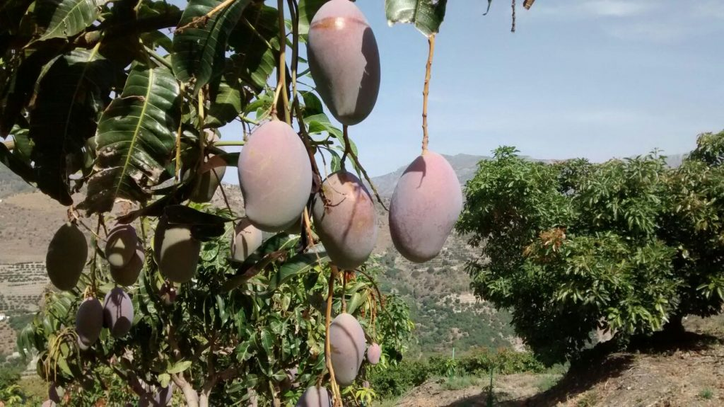 mangos of Jete, south of Spain